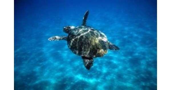 ANSA 7 10 2019 :                        Ingoiò amo,torna in mare tartaruga Lenny