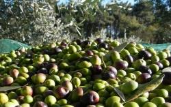 Come andrà la raccolta delle olive (e la produzione dell'olio): le previsioni di Federici