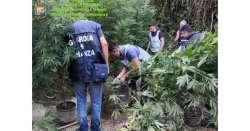 Sant'Omero. Scoperta piantagione di cannabis