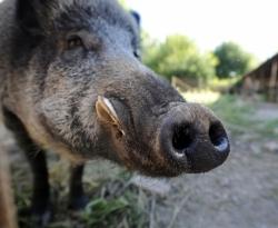 Dopo Treglio, Orsogna: campa cinghiale, che l'erba cresce...