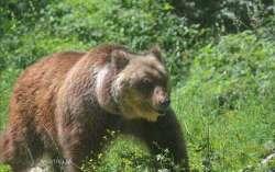 Orso morto, Parco: la 'causa non è il narcotico'