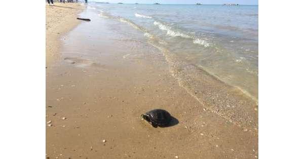 Tartaruga marina salvata in mare Pescara