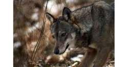 Quanti lupi fuori dal Parco della Majella ...