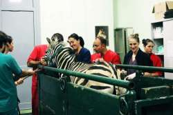 UniTeramo: sta benone la zebra operata in Facoltà