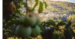 Dieta a base di mele per orsi Appennino