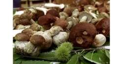 Raccoglie 43 kg di funghi illegalmente