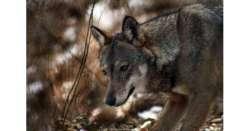 'Viva il lupo', progetto Wwf in 2 Parchi
